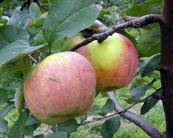 Яблоки Московское зимнее