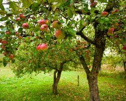 Уход за яблонями