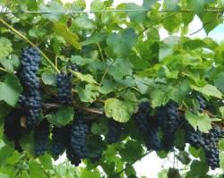 Виноград в Подмосковье