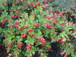 Садовая брусника