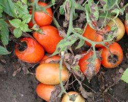 Гниль помидоров