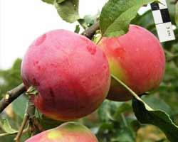 Сорт яблок Сувенир Алтая