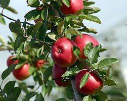 Удобрение яблони
