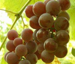 Сорт винограда Лидия