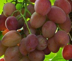 Сорт винограда Восторг