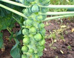Выращивание брюссельской капусты