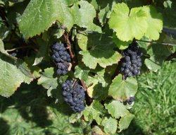 Чем обрабатывают виноград