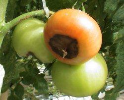 Чернеют помидоры