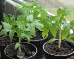 Подкормка рассады помидоров
