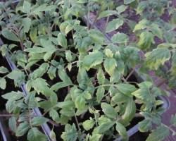 Болезни рассады помидоров