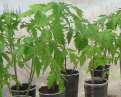 Рост рассады помидоров