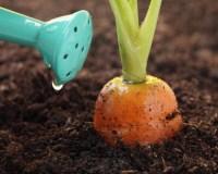 Полив морковки