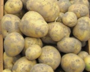 Сорт картофеля Гала