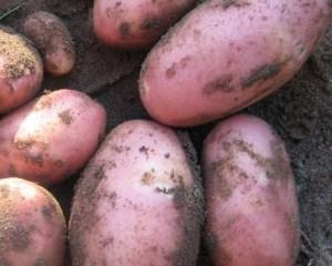 Сорт картофеля Ред Скарлет