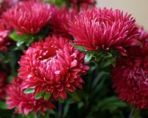 Чем подкормить астры Правила подкормки после высадки в грунт во время роста в июне и для обильного цветения