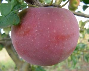 Сорта яблок для Украины
