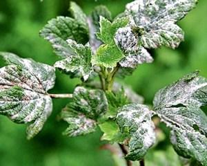 Налет на листьях смородины