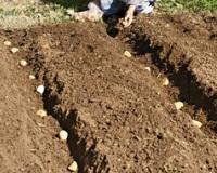 Посадка картофеля по Митлайдеру