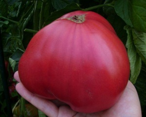 Сорт томата Розовый мед