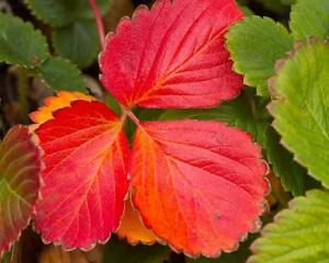 Краснеют листья у клубники