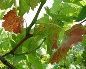 Краснеют листья у винограда