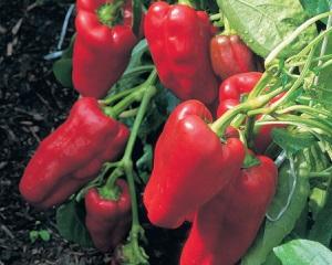 Скороспелые сорта перцев