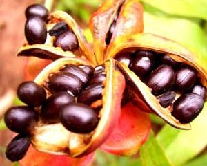 Выращивание пионов из семян