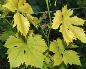 Желтеют листья винограда