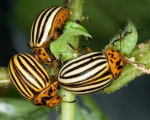 Борьба с колорадским жуком