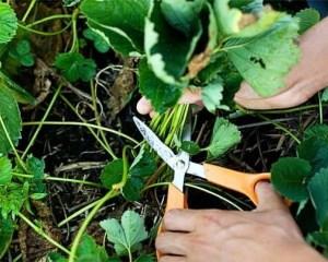 Как обрезать листья у клубники