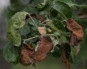 Коричневые листья на яблоне