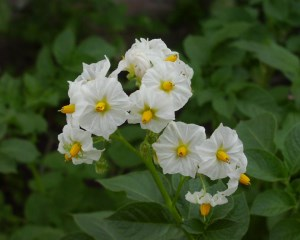 Обрывать ли цветы у картофеля