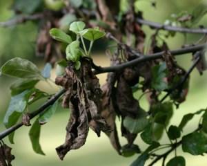 Сохнут листья у яблони