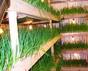 Выращивание лука зимой