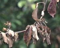 Чернеют листья яблони