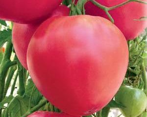 Поздние сорта томатов