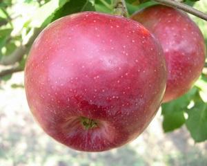 Сорт яблок Флорина