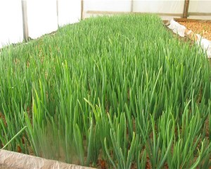 Выращивание лука в теплице на перо