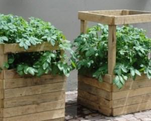 Выращивание картофеля в коробах