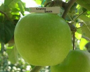 Сорт яблок Гренни Смит