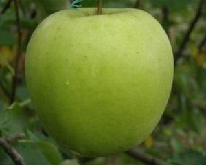 Сорт яблок Мицу