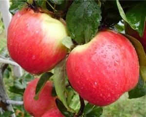Сорт яблок Эрли Женева